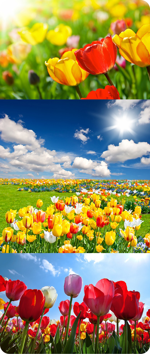 высококачественный растровый клипарт тюльпаны