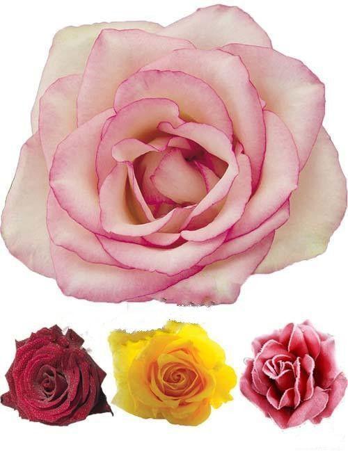 Розовые розы (цветочная коллекция в PSD)