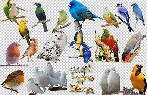 Клипарт подборка птицы на прозрачном фоне