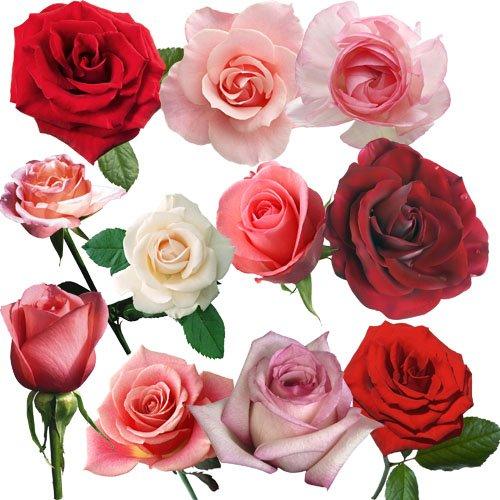 Клипарт - Прекрасные, свежие розы