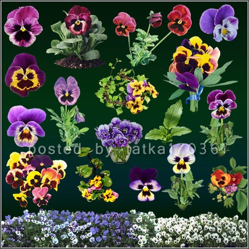 Цветочный клипарт для фотошопа - Яркие цветочки анютины глазки