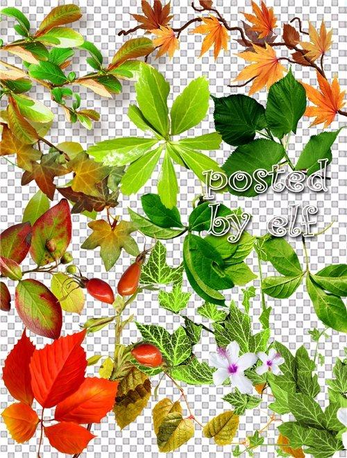 Клипарт в png - Шиповник, разнообразная листва