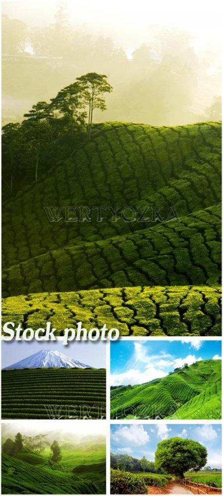 Чайные плантации на горных вершинах / Tea plantations on the slopes of the  ...