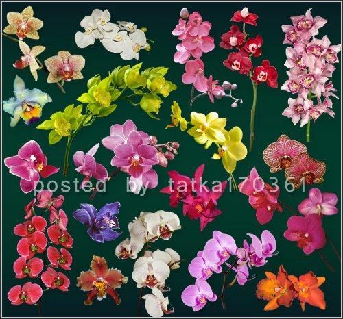 Цветочный клипарт для фотошопа - Красочные орхидеи