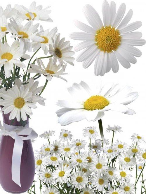 Ромашки - цветочный фотосток