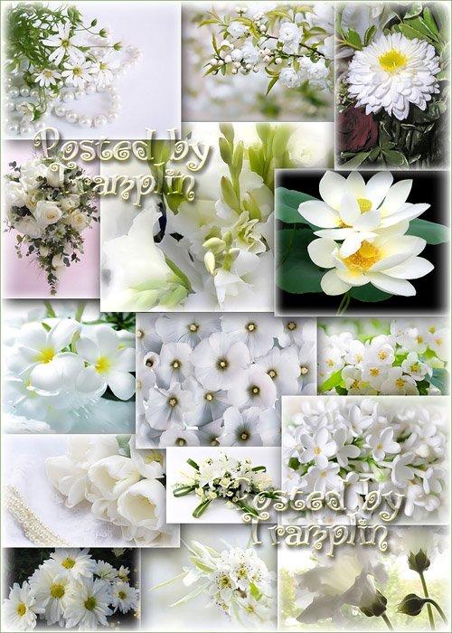 Клипарт-фоны – Белые цветы