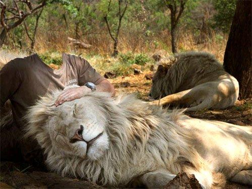 Дружелюбные львы в Саванне - мужской шаблон