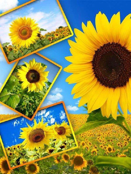 Фотосток: Солнечный Подсолнух