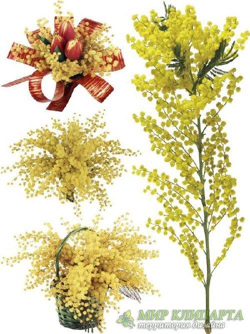 Мимоза - цветочный фотосток