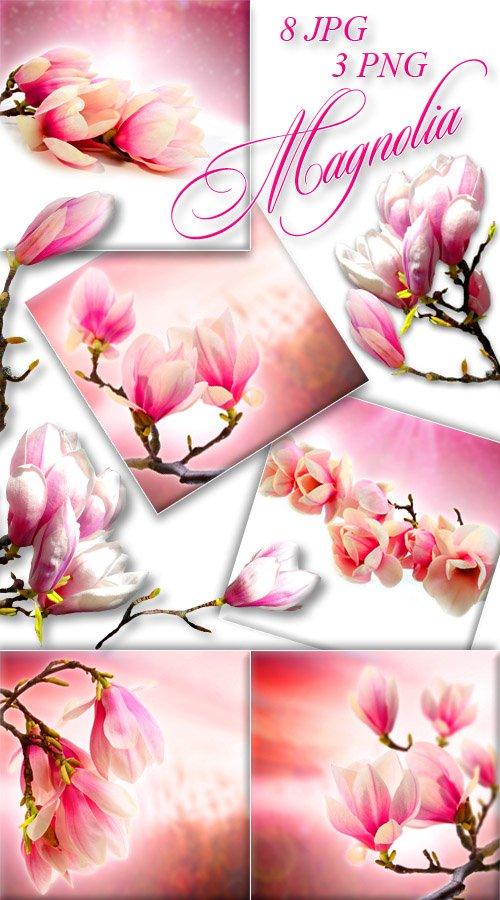 Цветы Магнолии / Magnolia
