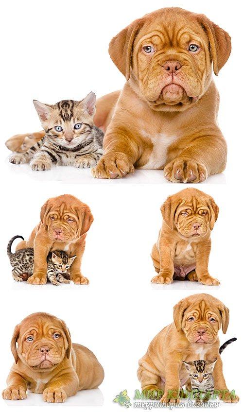 Бордоский дог, маленький щенок с котенком / Dogue de Bordeaux, a little pup ...
