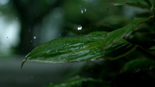 Футаж Падающие Капли на Листву HD / Slow Motion Rain on Plant HD