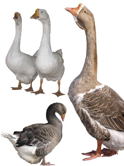 Домашняя птица: Гуси (подборка изображений)