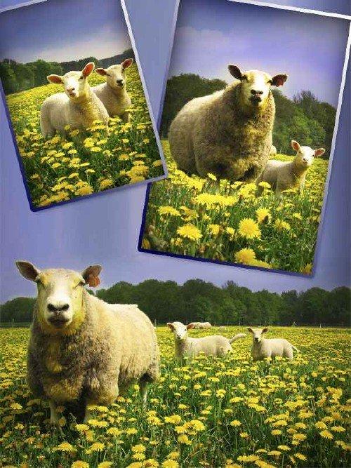 Домашний скот: Овца, ягненок (растровая подборка)