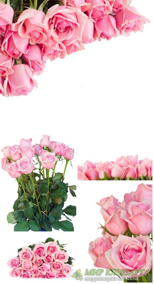 Розовые розы, цветы / Pink roses, flowers - Stock Photo