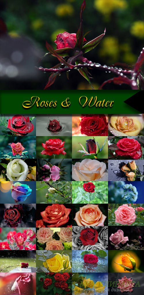 Roses &  Water