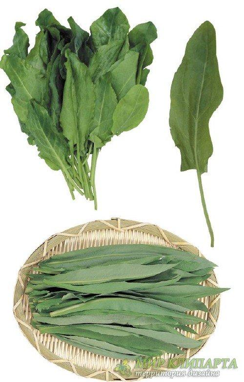 Зелень, приправа: Щавель (подборка клипарта)