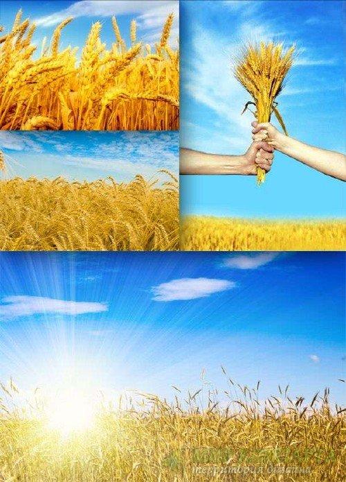 Поле пшеницы (подборка изображений)