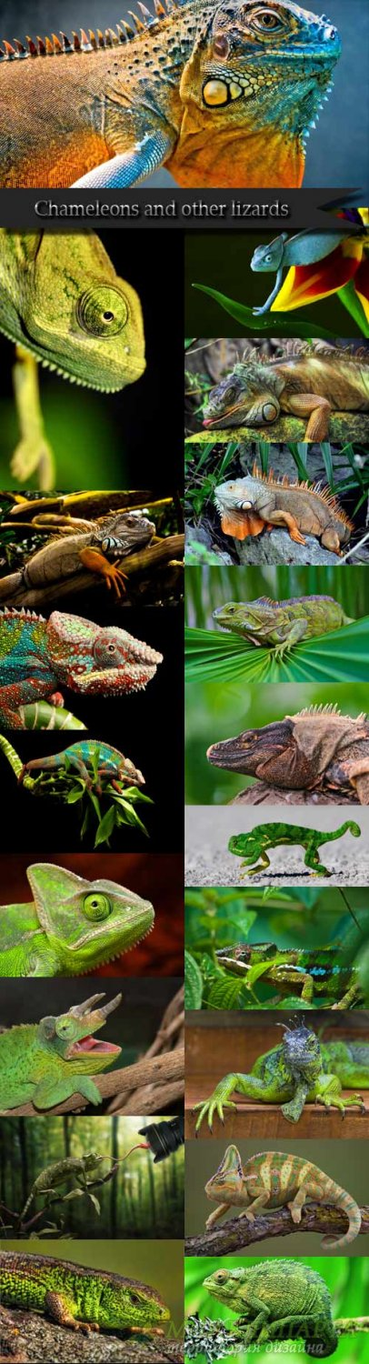 Chameleon and other lizards