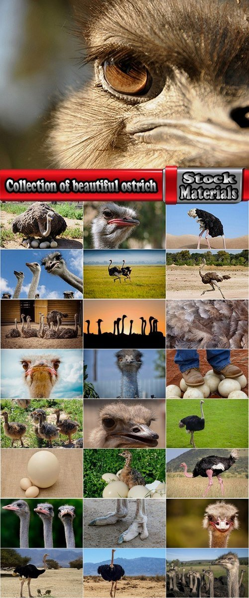 Collection of beautiful ostrich 25 HQ Jpeg