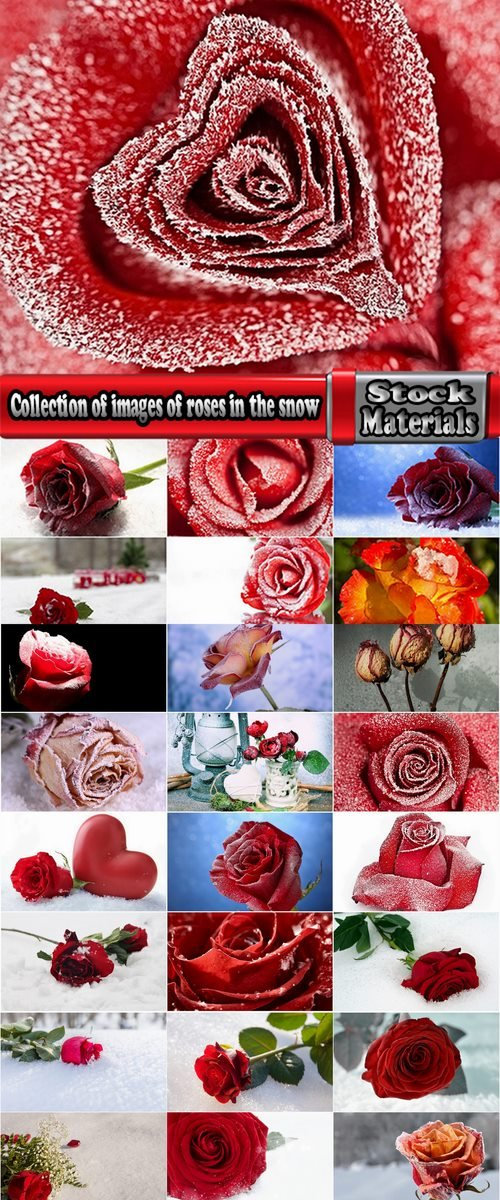 Collection of images of roses in the snow 25 HQ Jpeg